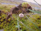 http://www.wwmushroom.ru/i.php?/galleries/Crimea/Crimea_20160129/Tulostoma_brumale_Fun_Cr_Fds_HAJ_20160129_01-02-th.JPG