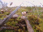 http://www.wwmushroom.ru/i.php?/galleries/Crimea/Crimea_20160129/Tulostoma_brumale_Fun_Cr_Fds_HAJ_20160129_01-04-th.JPG