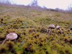 http://www.wwmushroom.ru/i.php?/galleries/Crimea/Crimea_20160129/Tulostoma_brumale_Fun_Cr_Fds_HAJ_20160129_01-07-th.JPG